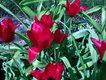 tulipany z ogródka