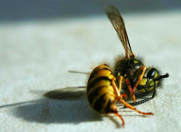 zabita pszczola przez GOM-o
