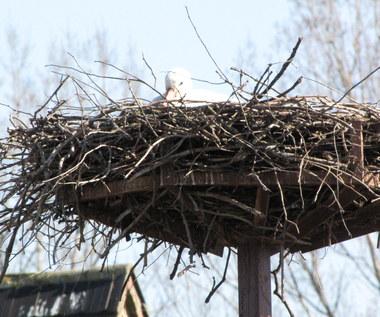 Bocian Heniek przyniósł wiosnę. Już siedzi w swoim gnieździe. ZOBACZ ZDJĘCIA