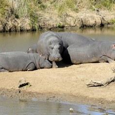 Bliskie spotkania z hipopotamem
