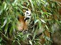 Właściciel prywatnego zoo rozszarpany przez tygrysy