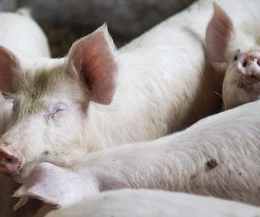 Drugie ognisko afrykańskiego pomoru świń na Białorusi