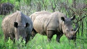 Nosorożce. Klątwa magicznego rogu