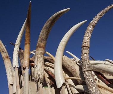 Rekordowa kara dla przemytnika kości słoniowej
