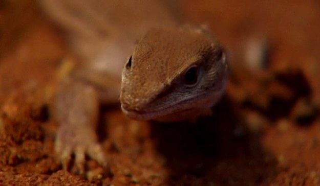 Taka gratka nie zdarza się zoologom codziennie. W Australii odkryto nowego gada. Otrzymał on już nazwę – Varanus sparnus, inaczej goanna z Półwyspu Dampiera. Jak się okazuje, jest to najmniejszy przedstawiciel rodzaju varanus, obejmującego jaszczurki z rodziny waranowatych. Varanus sparnus został odkryty na wyżynie Kimberley w Australii Zachodniej. To region, który słynie z wysokiej bioróżnorodności.    - Jeśli chodzi o liczbę znanych gatunków gadów żyjących w Australii, to przekroczyliśmy właśnie tysiąc. To jedna dziesiąta światowej puli – twierdzi Dr Paul Doughty z Western Australia Museum. - Największy znaleziony dotychczas przedstawiciel tego gatunku ważył 16 gramów i mierzył około 23 centymetry  – dodaje dr Doughty.