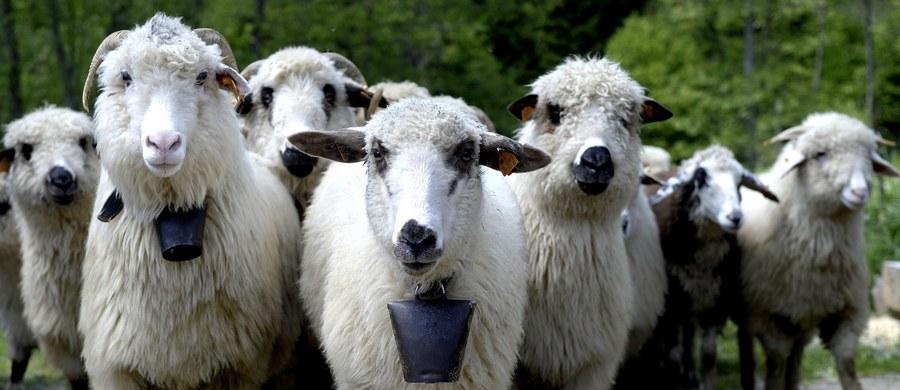 """Owce z powodzeniem mogą być wykorzystywane w roli """"żywych kosiarek"""" na wałach przeciwpowodziowych – oceniają naukowcy, którzy do trzech lat prowadzą program badawczy w Małopolsce. Według zapowiedzi władz regionu, w przyszłym roku może na wałach ruszyć regularny wypas."""