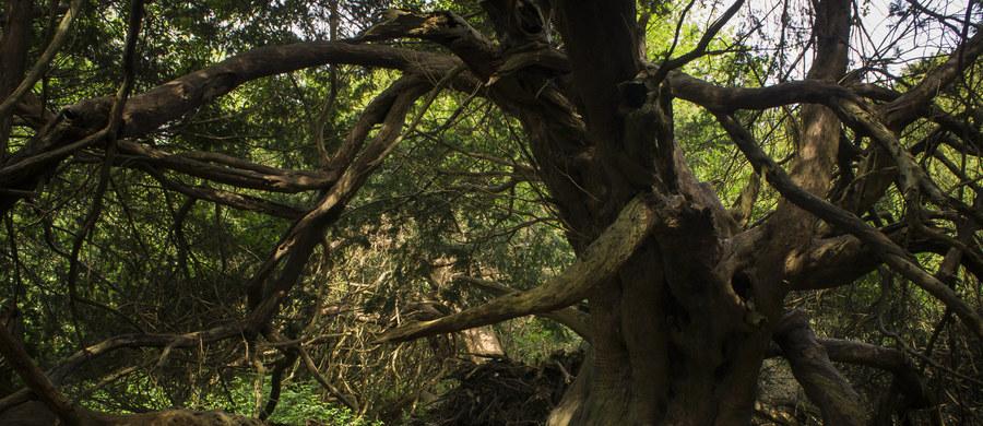 Rosnący w Szkocji cis zaczął zmieniać płeć. To liczący być może nawet pięć tysięcy lat i z tego powodu uważany za najstarsze drzewo w Wielkiej Brytanii i jedno z najstarszych w Europie.