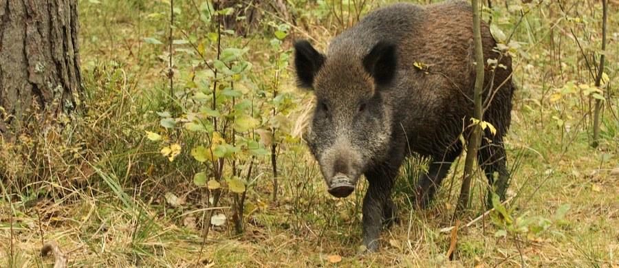 Rosja oskarża Polskę o ukrywanie przypadków afrykańskiego pomoru świń (ASF). Po wykryciu ok. 80 przypadków tej choroby w Polsce, na początku ubiegłego roku Moskwa nałożyła embargo na polską wieprzowinę.
