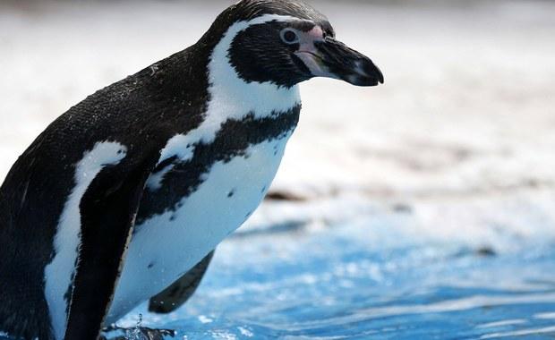 Jeden pingwin Humboldta nie żyje, a dwa inne zniknęły w poniedziałek z zoo w Dortmundzie na zachodzie Niemiec. Seria dziwnych wydarzeń w zoo trwa od lata. Policja bada te sprawy i ustala, czy incydenty są powiązane.