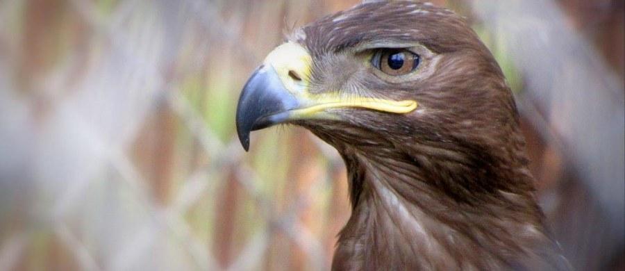 Scotland Yard chce wykorzystać orły do zapewnienia mieszkańcom Londynu większego bezpieczeństwa. Wyszkolone w odpowiedni sposób ptaki drapieżne mogłyby przechwytywać drony w powietrzu.