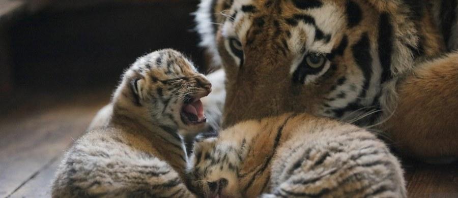 Szacowana liczba żyjących na wolności tygrysów wzrosła po raz pierwszy od 100 lat – poinformowały organizacje ekologów WWF i Global Tiger Forum. Według najnowszego spisu na świecie żyje dziko 3 890 tygrysów. W 1900 było ich 100 tysięcy.
