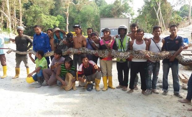 Olbrzymi pyton został znaleziony na placu budowy w Malezji. Zwierzę prawdopodobnie pobije rekord na najdłuższego węża świata, ponieważ szacuje się, że może mieć około ośmiu metrów.