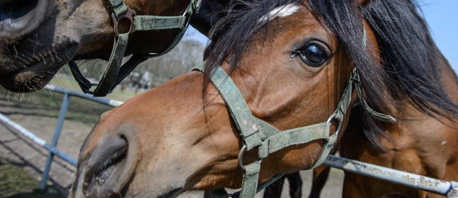 """Firma Polturf, która organize największą w Polsce aukcję koni arabskich """"Pride of Poland"""" w Janowie Podlaskim, wciąż nie otrzymała potwierdzonych zgłoszeń zwierząt. Wciąż nie doszło też do zapowiadanej przez ministra rolnictwa renegocjacji umowy pomiędzy Polturfem a stadninami. Wszystko wskazuje więc na to, że poważnie opóźnione są przygotowania i promocja imprezy."""