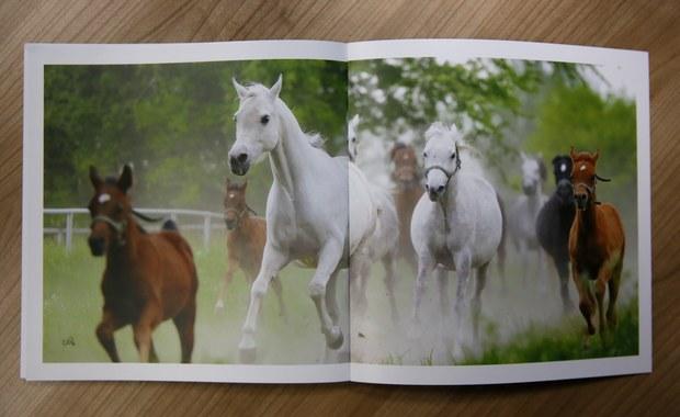 30 klaczy i jednego ogiera będzie można wygrać na aukcji Pride of Poland, stanowiącej kulminacyjny punkt Święta Konia Arabskiego, które rozpoczyna się dziś w stadninie w Janowie Podlaskim. Podczas pokazów nastąpi prezentacja 130 koni arabskich czystej krwi.