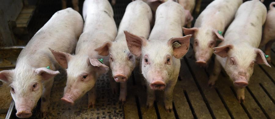 Prokuratura Rejonowa w Zambrowie na Podlasiu postawiła zarzuty w śledztwie związanym z rozprzestrzenianiem się wirusa ASF. Jednej osobie zarzuciła transport świń z naruszeniem wymagań weterynaryjnych i poświadczenie nieprawdy w dokumentach.