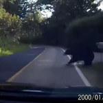 Niedźwiedź wyskoczył mu przed maskę!