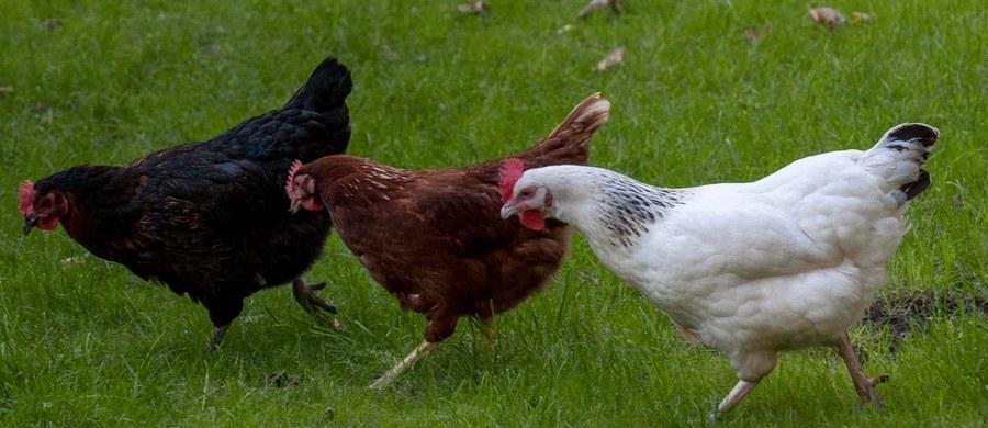 Polski drób ma kłopoty. Najwięksi pozaunijni importerzy wstrzymali dostawy z naszego kraju - dowiedział się reporter RMF FM. Powodem jest wykrycie w Lubuskiem ogniska ptasiej grypy u zwierząt hodowlanych.