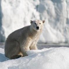 Lato niedźwiedzi polarnych