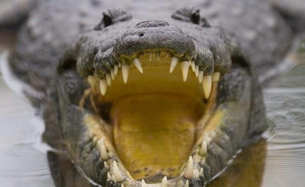 W tajlandzkim parku narodowym Khao Yai krokodyl zranił w nogę turystkę z Francji, która chciała zrobić sobie z nim selfie. Kobietę przewieziono do szpitala. Jej życiu nic nie zagraża.