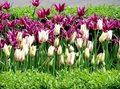 tulipany 2.jpg