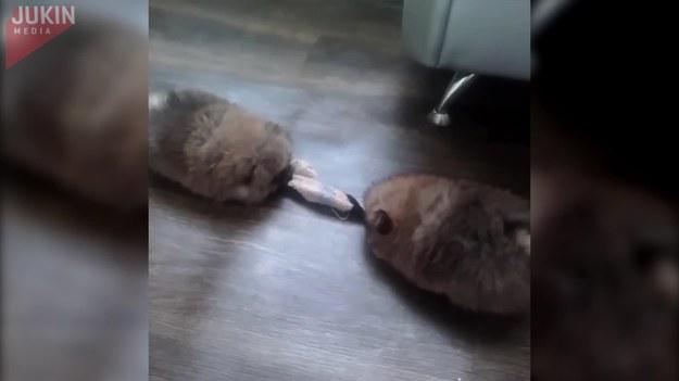 Te urocze puszyste szczenięta znalazły na podłodze skarpetkę i od razu zaczęły grać w przeciąganie liny.