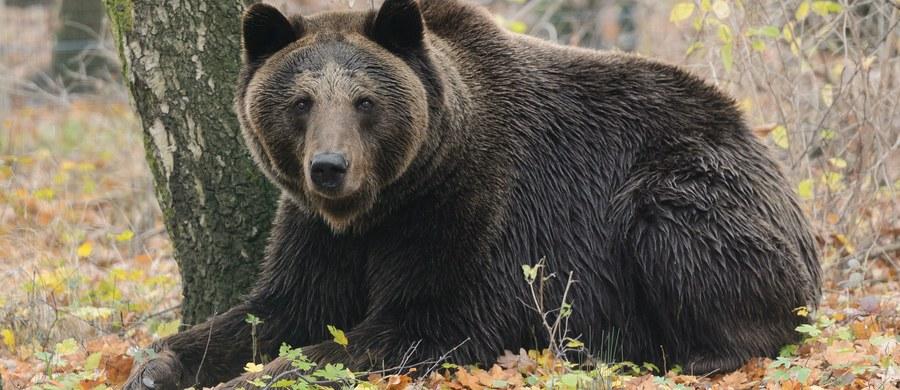 """Pracownik zakładu usług leśnych został zaatakowany przez niedźwiedzia w Stebniku w Bieszczadach. """"Poszkodowany ma liczne obrażenia ciała, m.in. przegryzioną prawą dłoń"""" – mówi nadleśniczy nadleśnictwa Ustrzyki Dolne, Maciej Szpiech."""