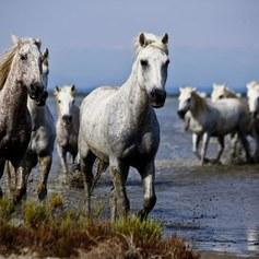 Dzikie konie z bagien Camargue