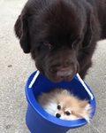Pies niesie swojego przyjaciela