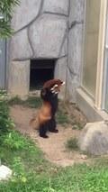 Panda czerwona próbuje zastraszyć kamień