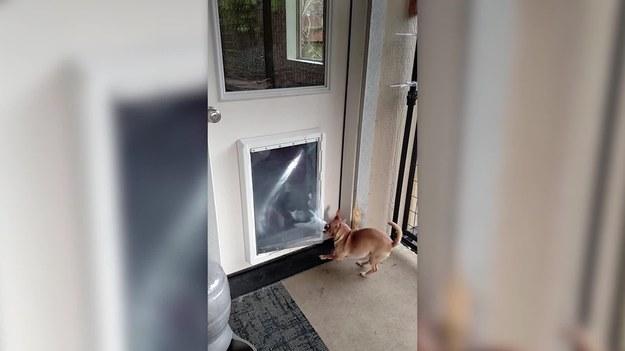 Pewien uroczy husky dowiódł, że jest prawdziwym dżentelmenem. Przytrzymał klapę w drzwiach swojemu przerażonemu kumplowi. Dzięki temu mały chihuahua mógł wyjść.