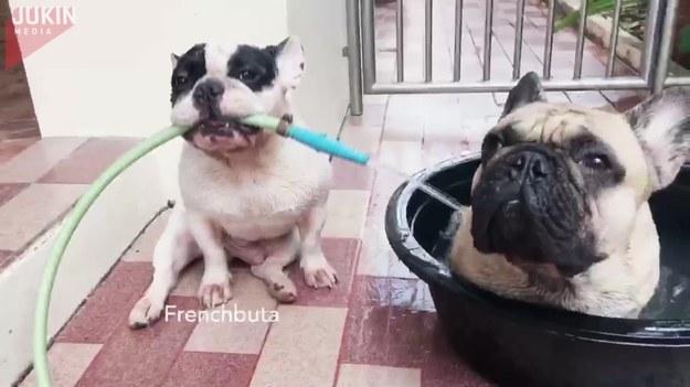 """Ten uroczy pies chciał pomóc swojemu właścicielowi i wykonać za niego pewne prace domowe. Złapał więc ogrodowego węża i... zrobił bratu kąpieli w """"wannie""""."""