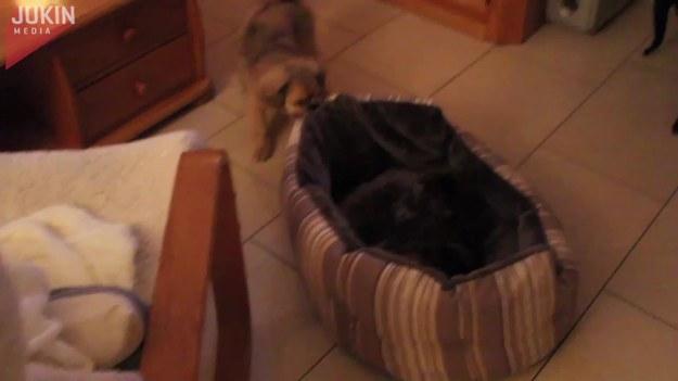 Ten pies chciał się przespać, ale jego wygodne posłanie było już zajęte przez kota. Postanowił więc pozbyć się niechcianego towarzysza.