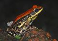Śluz indyjskiej żaby skrywa lek na grypę