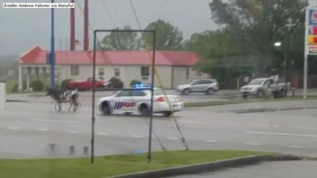 W Cookeville, mieście w stanie Tennessee, Byk wtargnął na drogę i utrudniał ruch kierowcom. Na miejsce przyjechał policyjny patrol, który próbował przegonić zwierzę w bardziej bezpieczne miejsce. Zdarzenie nagrał z restauracji Andrew Fahrner, który skwitował: - Takie rzeczy tylko w Cookeville! (STORYFUL/x-news)