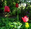 tulipany 2017.jpg