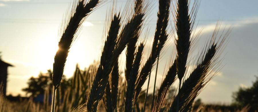 Unia Europejska wspiera Ukrainę kosztem polskiego rolnictwa. Już niedługo polski rynek może zalać ukraińska kukurydza, jęczmień, owies czy miód. Parlament Europejski zgodził się bowiem na nowe preferencje handlowe dla Ukrainy, wyłączając z nich jedynie pszenicę, pomidory przetworzone i mocznik.