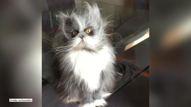 Atchoumfan to kot perski, który podbił serca internautów. Gdy jego właścicielka umieściła w sieci jego zdjęcia, nie mogli dojść do porozumienia, czy to kot, czy pies. Okazuje się, że Atchoumfan to kot dotknięty tzw. syndromem wilkołaka, który sprawia, że jego sierść rośnie w nadmiarze, powodując, że kot bardziej przypomina psiaka.    UWAGA! Ze względu na przepisy licencyjne materiał dostępny tylko na terytorium Polski.