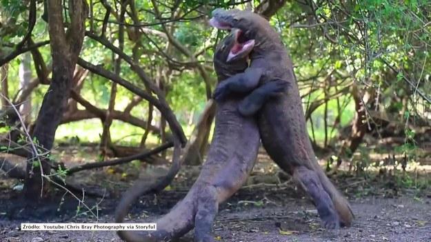 Rinca, Wyspa w Indonezji. Waran z Komodo to największa współcześnie żyjąca jaszczurka. Te dwa osobniki postanowiły zmierzyć się, który jest silniejszy. (STORYFUL/x-news)   UWAGA! Ze względu na przepisy licencyjne materiał dostępny tylko na terytorium Polski.