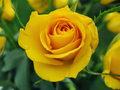 zółta róża.jpg