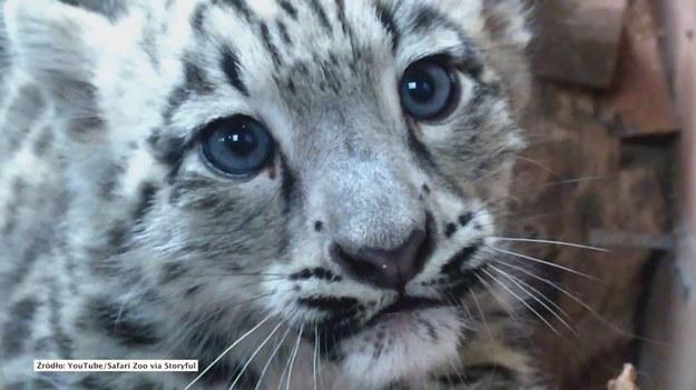 Ulverston, Wielka Brytania. Dwie młode pantery śnieżne zostały zaprezentowane w safari zoo w hrabstwie Kumbria w płn.-zachodniej Anglii. Zwierzęta przyszły na świat czerwcu.  Młode irbisy to samice, nazywają się Mishka i Nastasja.  Na wolności żyje tylko 4500-7000 osobników tego gatunku, w niewoli około 200. (STORYFUL/x-news)   UWAGA! Ze względu na przepisy licencyjne materiał dostępny tylko na terytorium Polski.