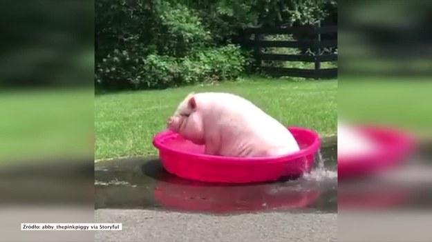 Burlington, Connecticut, Stany Zjednoczone. Świnka o imieniu Abby doskonale wie, jak ochłodzić się w upalny dzień. Zabawy w basenie w jej wykonaniu z pewnością rozśmieszą was do łez. To trzeba zobaczyć! (STORYFUL/x-news)   UWAGA! Ze względu na przepisy licencyjne materiał dostępny tylko na terytorium Polski.