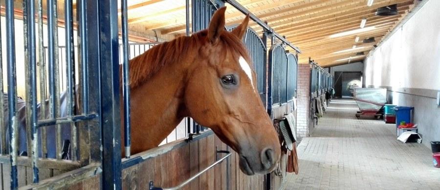 """To pierwsza w Polsce aukcja koni arabskich czystej krwi, oferująca klacze i ogiery zarówno polskich, jak i zagranicznych wystawców. W sercu Małopolski - Michałowicach pod Krakowem - na terenie Klubu Jazdy Konnej """"Szary"""" rozpoczęły się dziś po południu II Krakowski Pokaz Koni Arabskich i Międzynarodowa Aukcja Koni Arabskich!"""