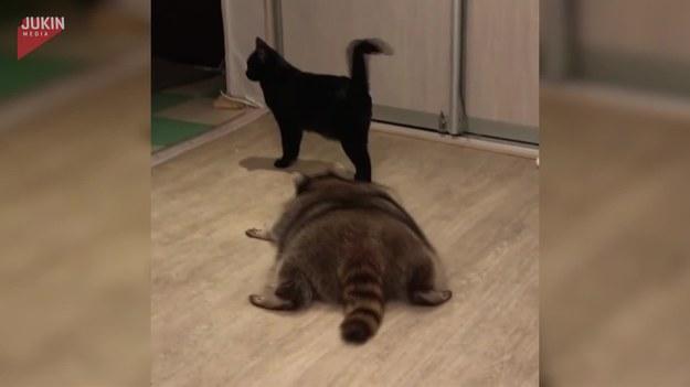 Jak widać kot nie jest skory do zabawy, ani do przyjaźni z szopem, który bezskutecznie próbuje zagaić.