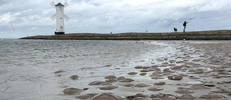 Na przełomie sierpnia i września występujące w Bałtyku meduzy, czyli chełbie modre, mają swój sezon rozrodczy. Potem - umierają. Gdy wiatr wieje z północy, meduzy spychane są w kierunku brzegu, a potem wyrzucane przez fale na piasek.