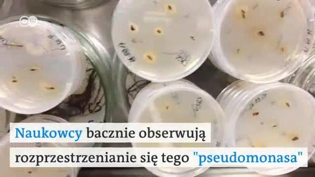 Do znanych powszechnie zabójców kasztanowców, czyli moli i grzybów doszedł kolejny. Groźna bakteria rozprzestrzenia się w tempie, które przeraża samych ekspertów.