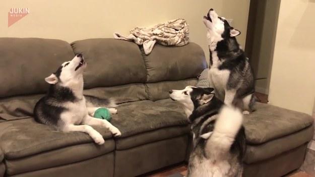 Oto sposób w jaki spędzają swój wolny czas na kanapie husky Koda, Kyoto i Kaito.
