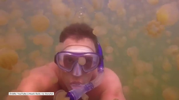 To jezioro nie bez powodu nosi nazwę Jellyfish Lake, czyli Jezioro Meduz. Popularne miejsce nurkowań słynie z dużej populacji tych zwierząt. Zobaczcie magiczne nagranie podwodnego świata. (STORYFUL/x-news)