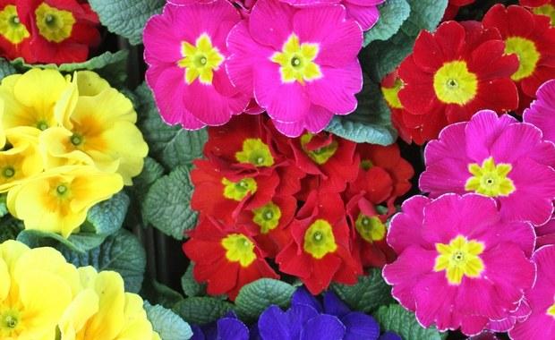 Rząd Włoch wprowadza ulgę podatkową na zieleń. Korzystający z niej mogą odpisać od podatku 36 proc. kosztów poniesionych na udekorowanie kwiatami i roślinami tarasów i ogrodów, w domach prywatnych i wspólnotach mieszkaniowych - podało Ministerstwo Rolnictwa.