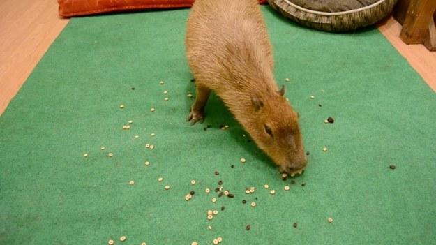Kapibara JoeJoe wręcz przepada za słodkościami. Gdy ujrzała na dywanie rozsypane płatki śniadaniowe i rodzynki, od razu wzięła się za jedzenie. Pochłonęła wszystko, nie zostawiając nawet okruszka. Wygląda na to, że głodne zwierzątko jest skuteczniejsze niż odkurzacz. (STORYFUL/x-news)