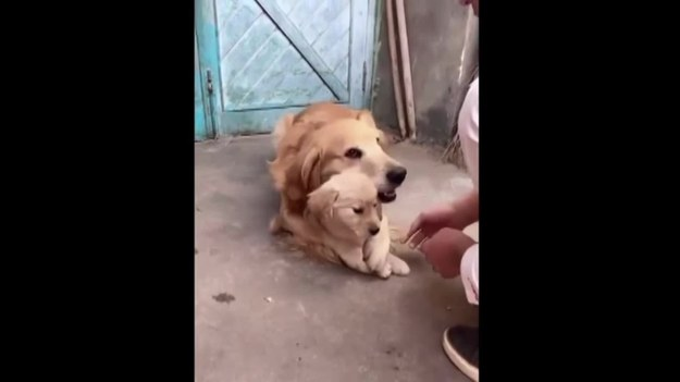 Ten pies bardzo chroni małago szczeniaka. Nie zamierza pozwalać ani na jego głaskanie, ani na podawanie łapy. Urocze.